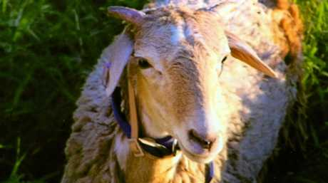 Petra Lovett of West Ipswich is devastated after one of her pet sheep was killed and another is missing after a dog attack. Robbie is still missing.