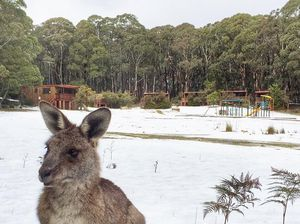 Nippy Skippy kangaroo explores snow near Blue Mountains
