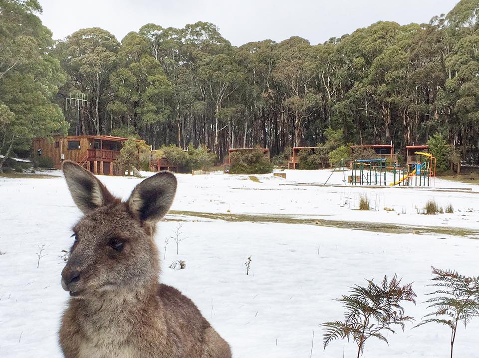 NIPPY SKIPPY: One of the locals enjoys the change of scenery as a blanket of snow covers Jenolan Caves, south-west of the Blue Mountains.