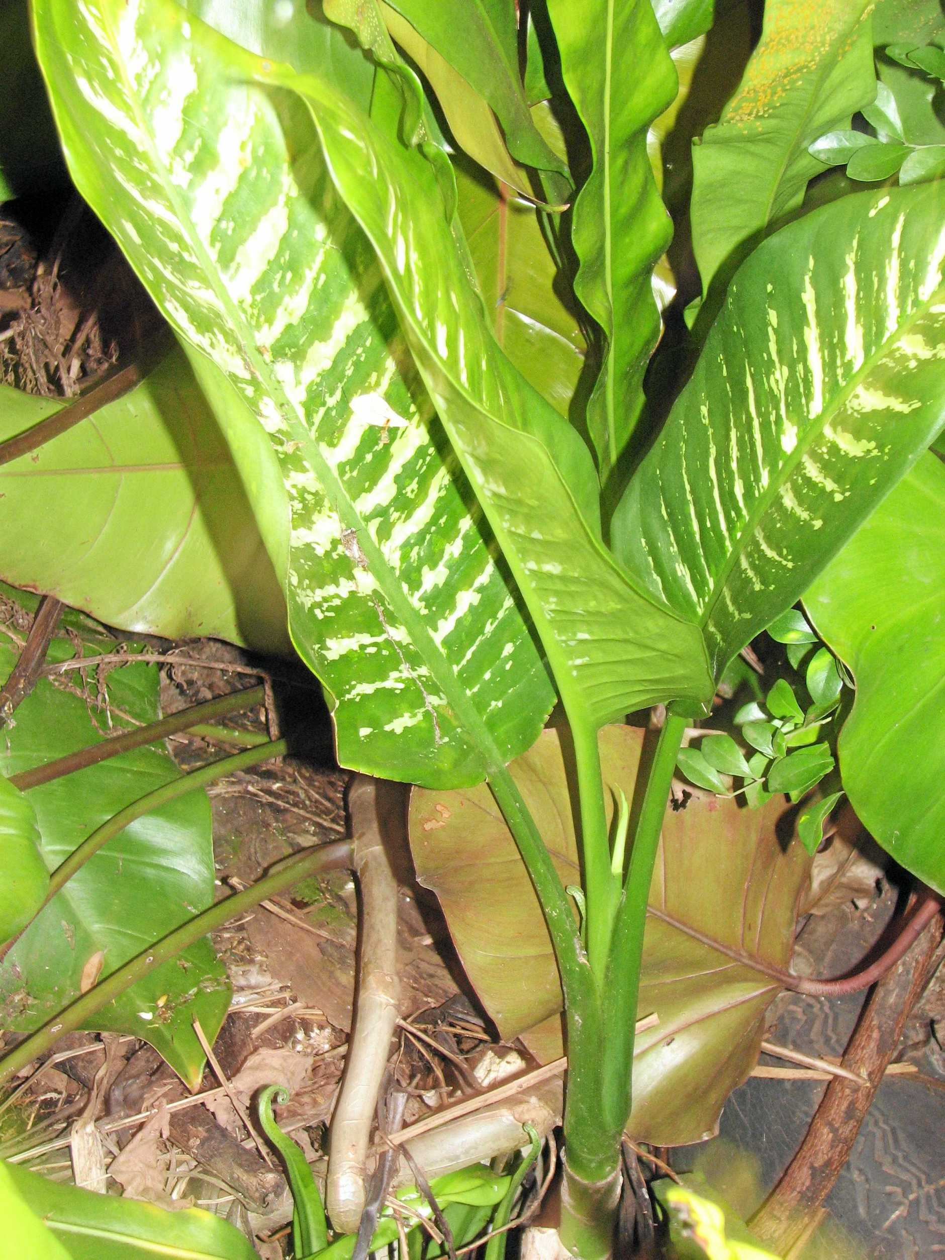 Dieffenbachia, which has the common name of 'dumb cane' can be used an an indoor and outdoor plant - but must never be ingested.