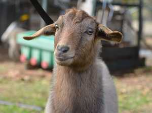 'I buggered up': Goat owner confesses after pet's death