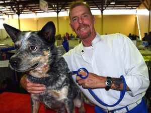Artificial insemination used to breed top notch cattle dogs