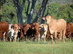 Huge drop in beef numbers