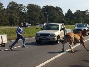 Cattle cause chaos on the Bruce Highway