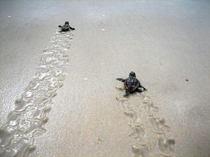Mon Repos hatchlings released into safe waters