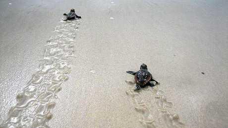 Baby loggerhead turtles.
