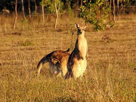 Kangaroos are slowly encroaching towards the back of Greg and Sandra Woodbridge's Ripley property due to development.Photo: Sandra Woodbridge
