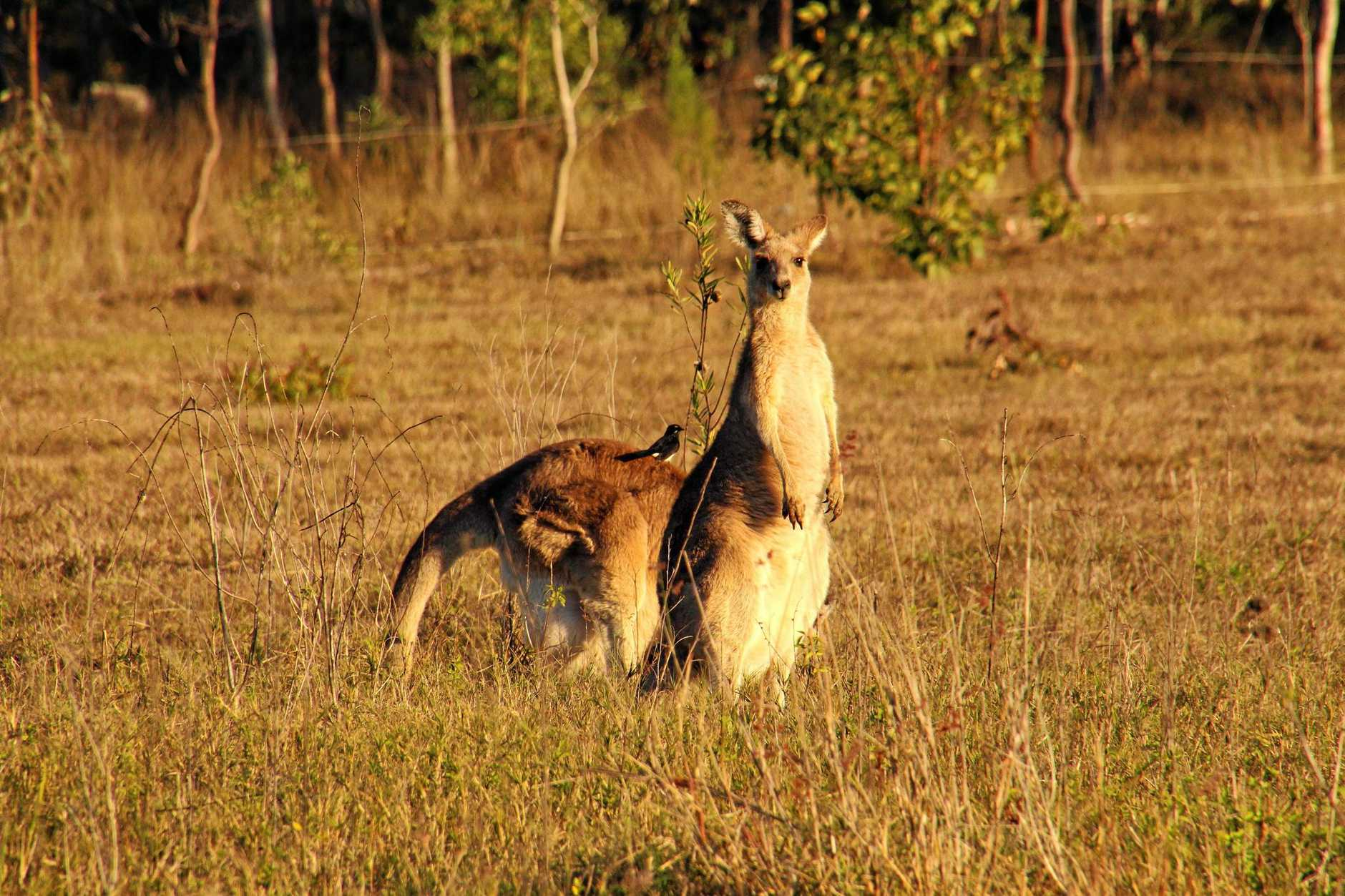 Kangaroos are slowly encroaching towards the back of Greg and Sandra Woodbridge's Ripley property due to development.Photo: Sandra Woodbridge