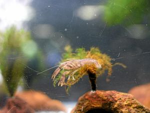 It's cray-cray how small these crayfish are