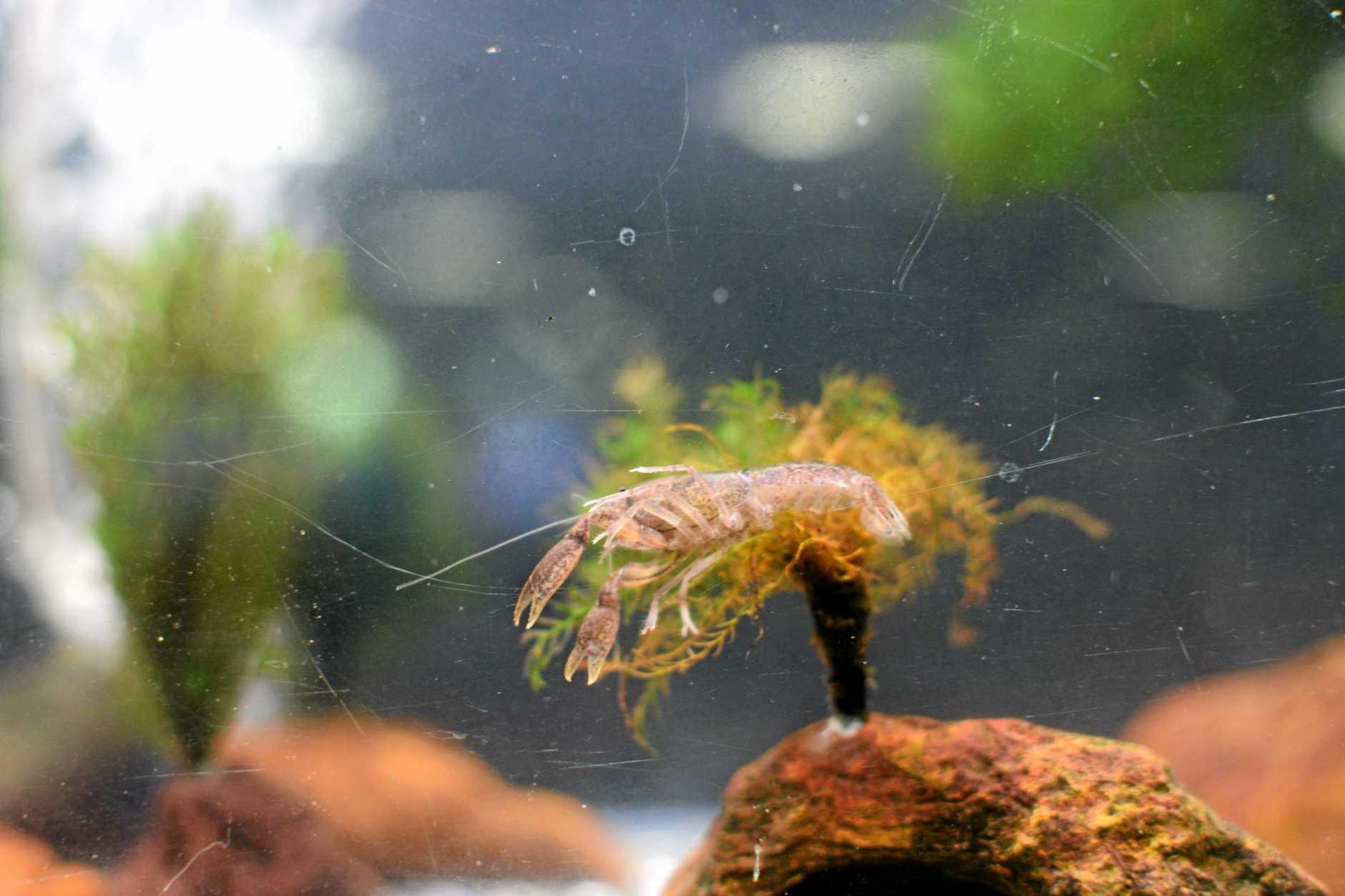 Swamp crayfish, which was found near Noosa. Photo Chris Van Wyk