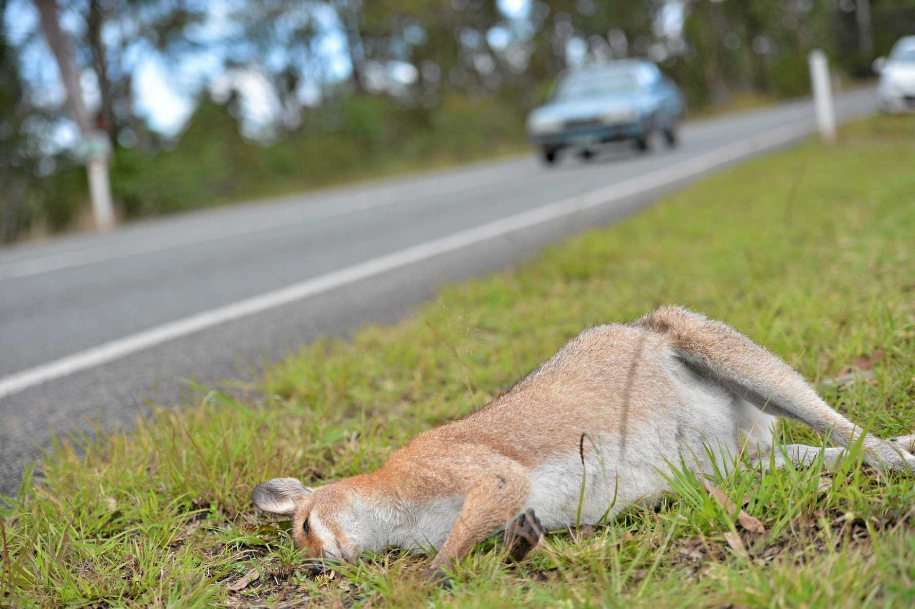 KILLING SEASON: More wild animals are killed or injured on the roads at this time of year.