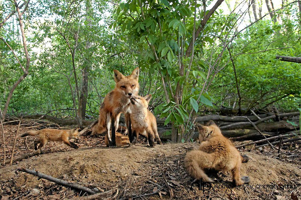 FIXING FOXES: Red foxes will be targeted in their dens in Noosa to help with the Biosphere's biosecurity.