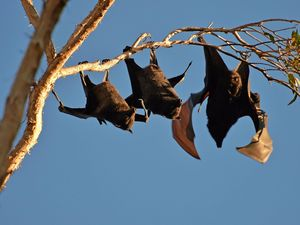 The truth about lyssavirus and bat attacks