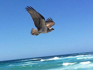 Kingscliff's ospreys back in the nest