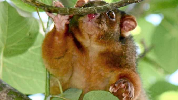 FRIENDLY: Possum numbers appear to be increasing as spring arrives.