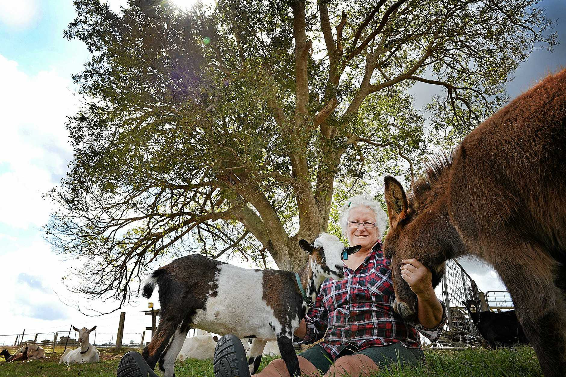 Debbie Nicolaides with the Australian miniature goats she breeds, particularly Wild River Barney (also known as Me-me, after a noise she made as a baby).