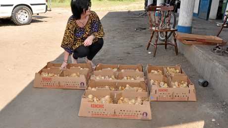 CHANGING LIVES: Umoja Orphanage Kenya director Cathy Booth with chicks which will grow up to lay eggs for the chaity to sell and feed the children. Photo Contributed