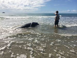 Humpback whale calf euthanised