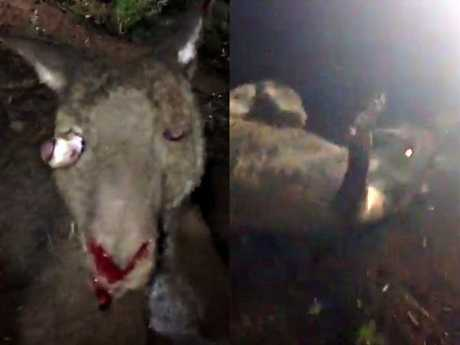Screenshots from the Snapchat video of a kangaroo being tortured by four young men (RSPCA)