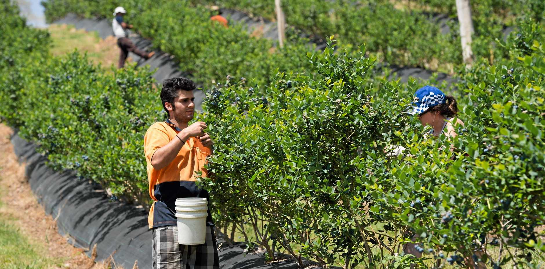 BLUEBERRY BOOM: North Coast farmer Harjap Dosanjh said his new multinational partnership will benefit farms on the Coffs Coast.