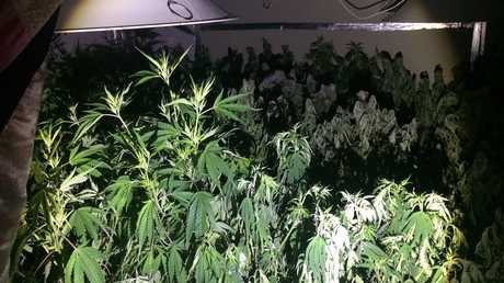 More than 300 marijuana plants were found in three rooms of a lowset house in Gatton.