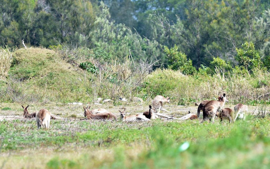 Kangaroos in a paddock on Dougan St, Point Vernon.