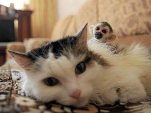 Cat plays mum to baby monkey