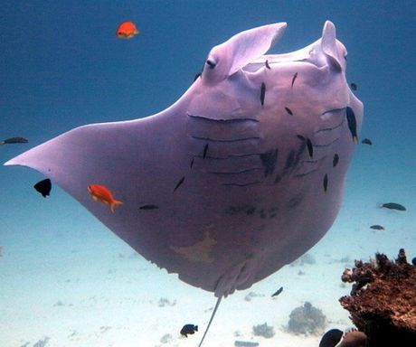 Clouseau the pink underbellied manta ray has been spotted twice at Lady Elliott Island.