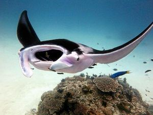 Researchers baffled to why Lady Elliott manta is pink: Watch