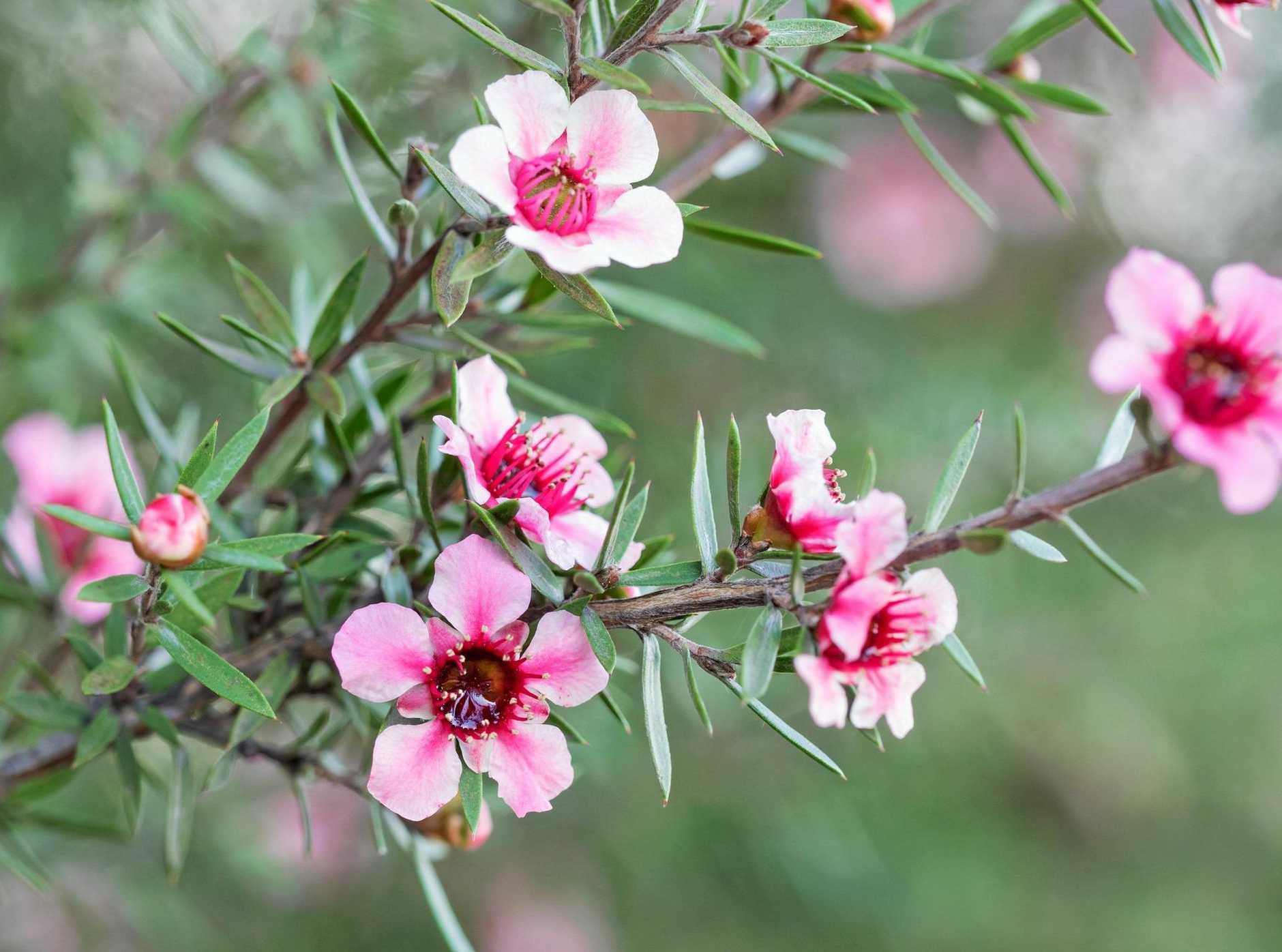 Gardening Common Tea Tree A Star Of The Late Winter Garden