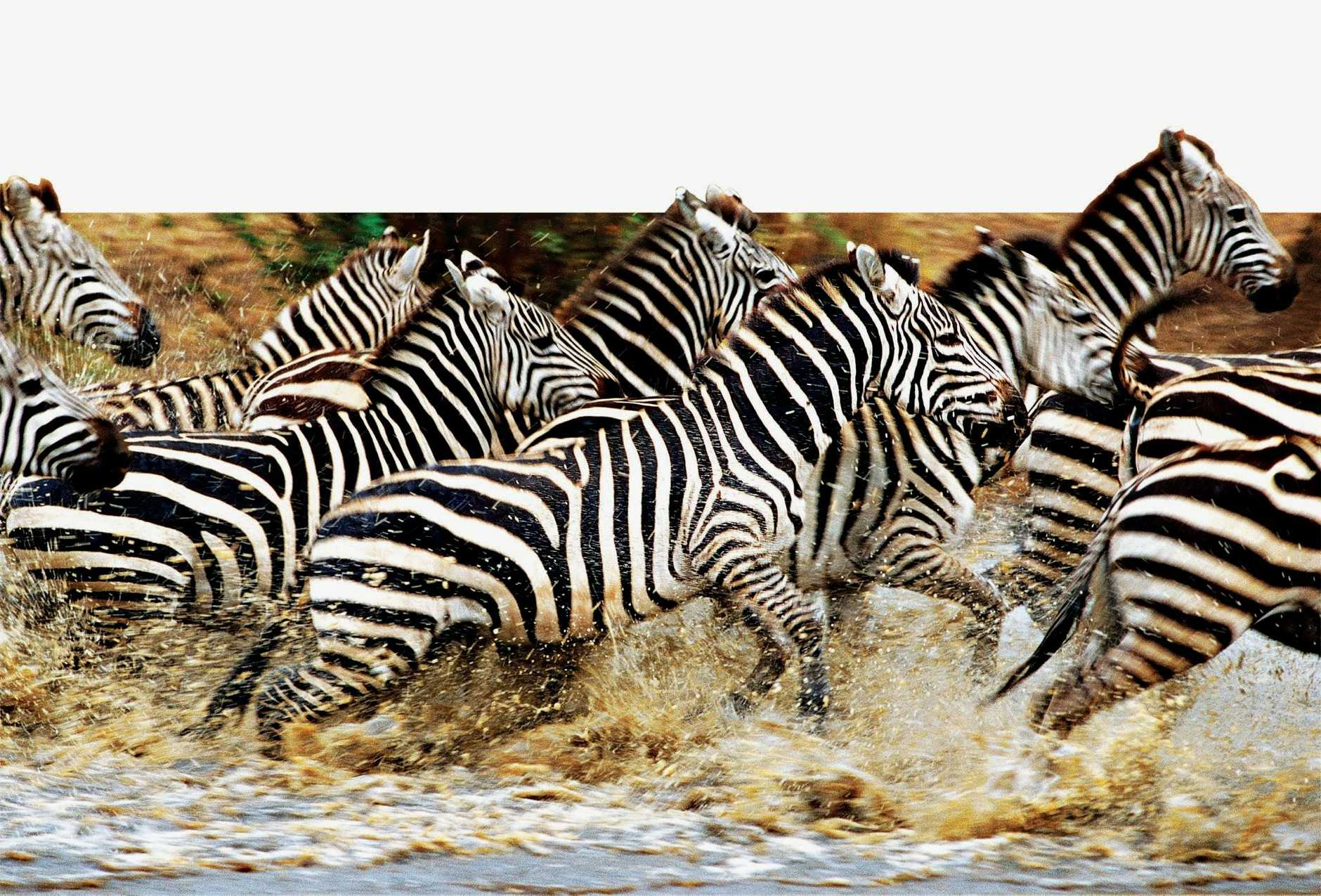Charging zebras, as featured in the National Geographic television program Great Migrations. TOP RIGHT: One of Kenya's most experienced guides, Abdul Karim, from Sanctuary Retreat's Olonana Camp.