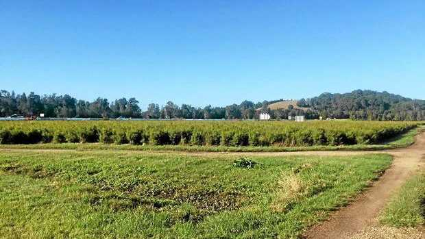 SMELLY: The odour you can smell at Chinderah is emanating from the Tea tree plantation.