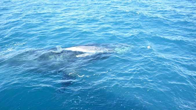 First photos of a baby whale born off Mooloolaba.
