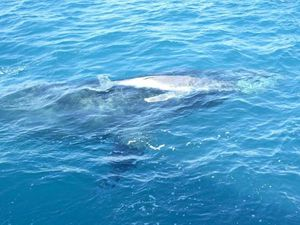 OH BABY: First photos of baby whale born off Mooloolaba