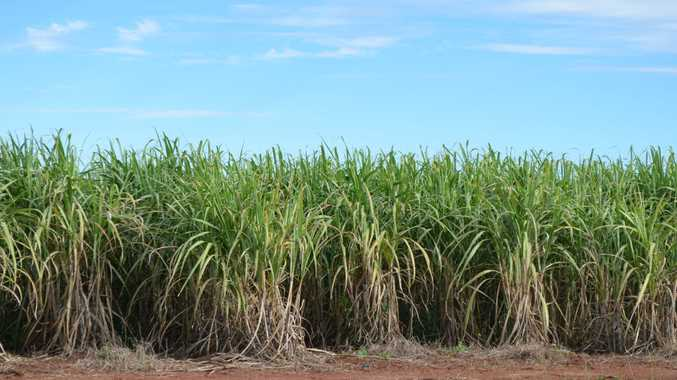 With a plan for a medicinal marijuana farm on the cards ideas have been flying around about other ways to use old cane fields.