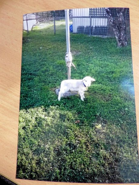 Billy the pet lamb was killed by two suburban dogs in Casino.