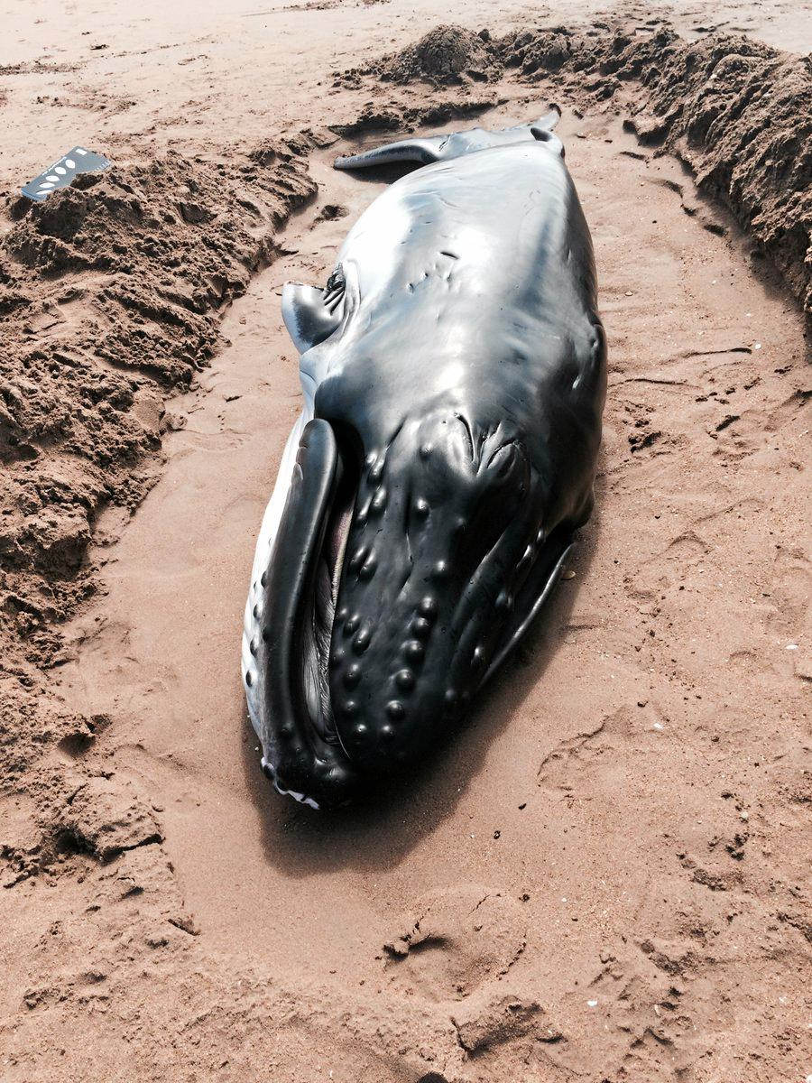 ANOTHER WHALE BEACHED: The whale at Moore Park Beach. Photo: Dominic Cansdale / ABC