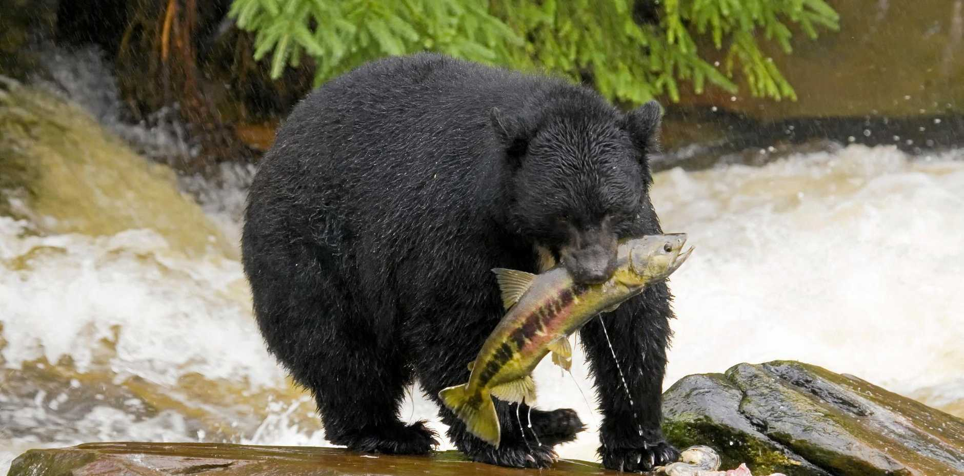 The American black bear (Ursus americanus) is North America's smallest and most common species of bear.