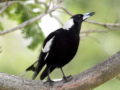 Since 2013, Queenslanders have reported about 3500 attacks by the black and white birds, with 16 per cent of those resulting in injuries.
