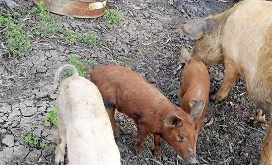 Three of four pigs were run over or shot along South Yaamba Rd, Alton Downs on Friday morning.