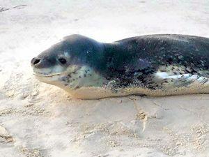 Leopard seal comes ashore at Ballina