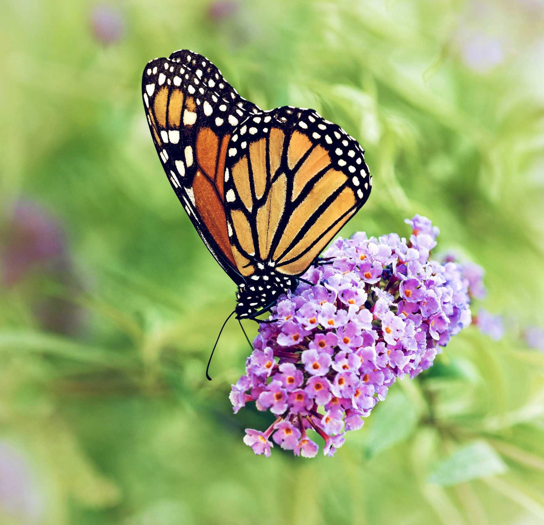 A monarch butterfly (danaus plexippus) feeds on butterfly bush (buddleia) flowers.