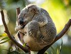 NATIVES: National Parks is conducting koala counting.