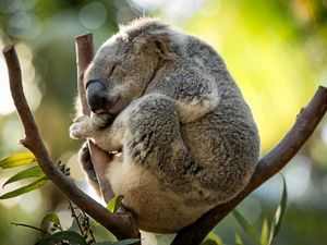 Count yourself in for helping koalas