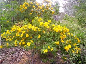 Wattle Day celebrated today amid Weedbuster Week