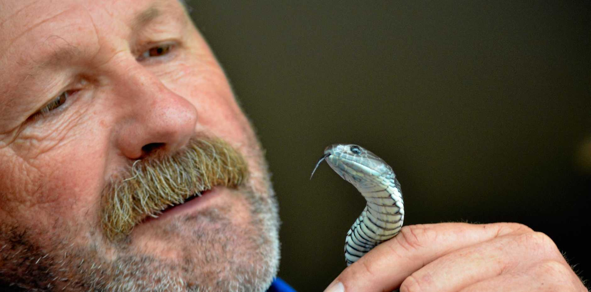 BEWARE: Snake Handler Anthony Zinc with a Tiger snake.   Photo: Scottie Simmonds/NewsMail
