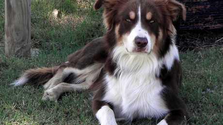 Border Collie Aussie is one smart dog.