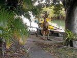 Giant male kangaroo 'swims' into waterfront backyard