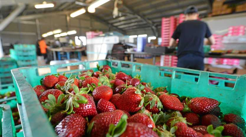 BACKPACKER TAX: Changes to the system would affect the workforce numbers available at Tinaberries farm in Bundaberg. Photo: Paul Donaldson / NewsMail
