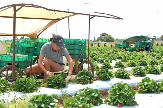 BACKPACKER TAX: Visa workers could be deterred from picking in places like Tinaberries farm in Bundaberg. Photo: Paul Donaldson / NewsMail